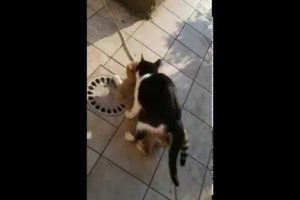 cats playing  mating