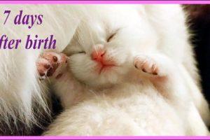 ✔️ 7 Days After Birth | British Shorthair kitten | NewBorn Cute Kitten