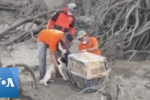 Animals Rescued From Philippines Volcano Devastation
