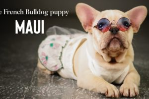 CUTEST PUPPY COMPILATION!: Maui, The French Bulldog