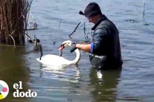Cisne se queda cerca de su amigo mientras es rescatado | El Dodo