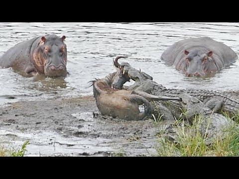 Crocodile vs Hippo - Wild Animals Fighting, Hippo, Rhino, Crocodile | Animals Save Other Animals