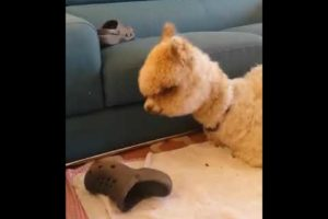 Cute Alpaca Playing with Sandals - Cute Animals Moment