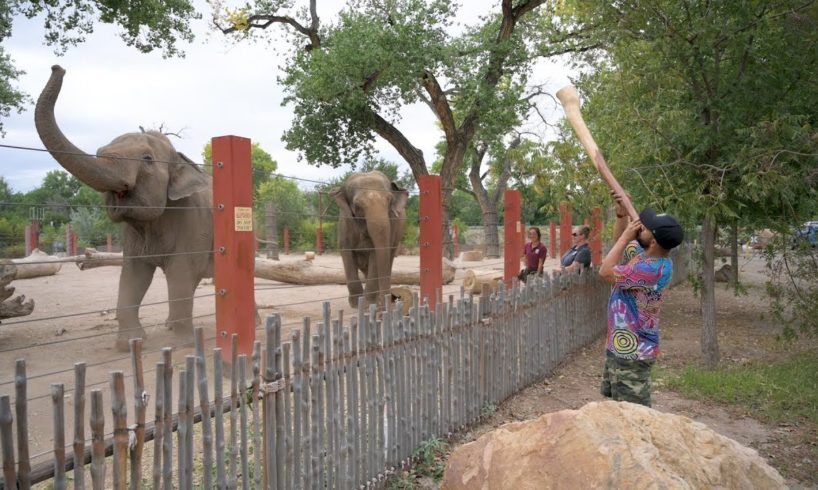 Elephants joyfully react to didgeridoo performance - ABQ BioPark Zoo