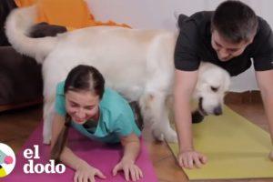 Este Golden Retriever hace todo lo que hace su papá | El Dodo