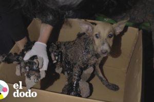 Estos perritos estaban atascados en capas de brea y rocas | El Dodo