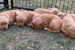 Golden Puppy Cuteness Overload!!