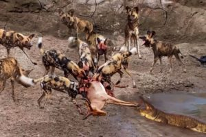 Impala vs Wild Dogs vs Crocodile   Animals Fight For Survival   Amazing Animals Attack   Wild Animal