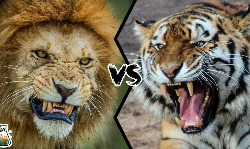 LION VS TIGER - Who is the real king?