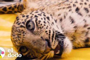 Leopardo paralizado logra aprender a caminar otra vez | El Dodo