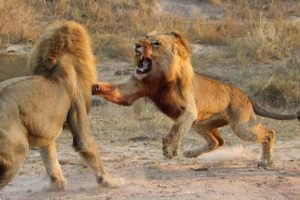Lion Fight Deadly Beasts