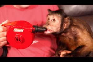Monkey Plays with Air Blower!