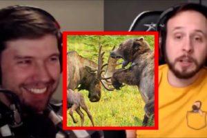 Moose vs Bear & Other Animal Fights   PKA