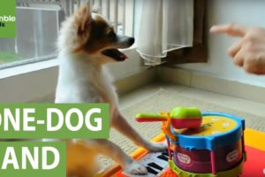 Musical dog plays piano and drums simultaneously