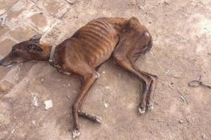 Rescue Horribly Thin Dog Is Dying On The Street