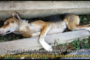 Rescue Poor Dog Who Was Fallen Into A Drain For Three Days