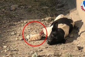 Rescue Poor Puppy Lose Hope With Her Leg Wound Is Very Horrible