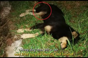 Rescue Stray Dog Who Was Suffered A Gruesome Hind Leg Injury In A Car Accident