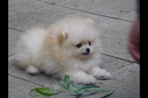 The cutest Puppy First Time Outside - Calvin the cutest Pomeranian puppy boo outside