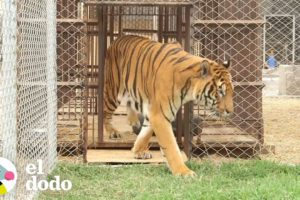 Tigre rescatado de un circo luego de 11 años siente la libertad | El Dodo