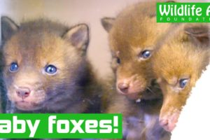 Tiny baby FOXES rescued from Heathrow runway!