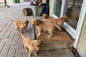 ⚠️ WARNING! Golden  Puppy Cuteness Overload!! Part 2