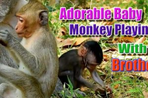 WildLife Animals - Adorable Baby Monkey Playing with his Brother, Awesome! Key of Secret #14