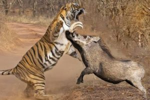 Animal Fight To Death - Tiger vs Warthog - Tiger Vs Buffalo -Tiger Vs Impala - Amazing Animal Attack