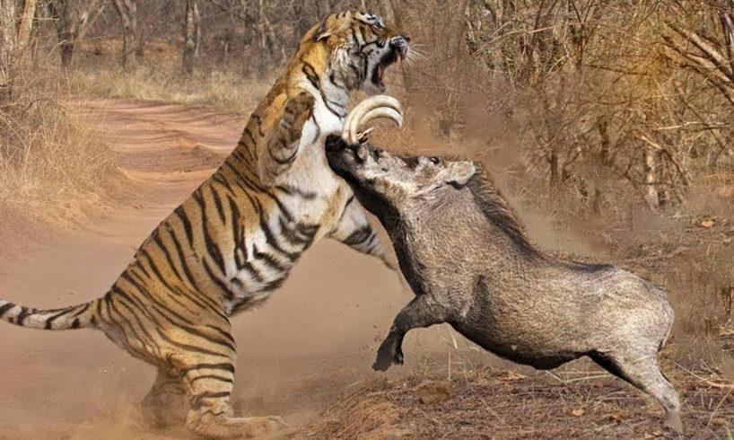Animal Fight To Death - Tiger vs Warthog - Tiger Vs Buffalo -Tiger Vs Impala - Amazing Animal Attack