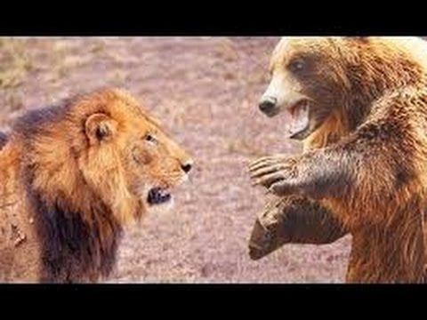 Animal Fights Gorilla vs Chimp Lion vs Tiger Anaconda kills Hippo Monkey attacks