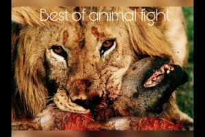 Best of animal fights in wild