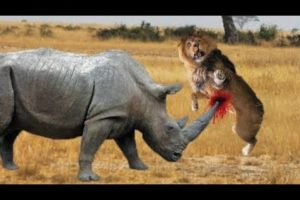 LION VS RHINO FIGHT TO DEATH - ANIMALS REAL FIGHT
