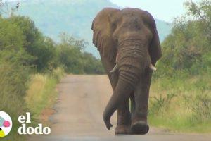 Elefante curioso decide ir a saludar a estas personas | El Dodo
