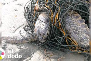 Héroes liberan a una tortuga marina de redes de pesca | El Dodo