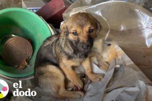 Perrita herida es rescatado y reunido con sus hermanitos | El Dodo