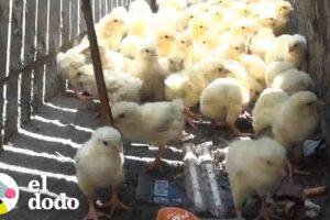 Todos se detienen para salvar a estos pollitos | El Dodo