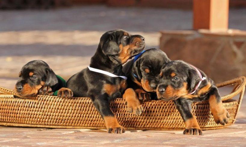 Cute Doberman Puppies - Cutest Puppies Compilation