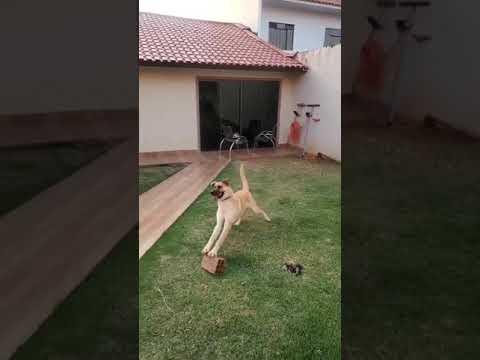 Dog Playing Brick