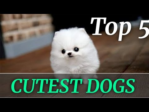 😍TOP 5 CUTEST DOGS || CUTEST PUPPIES || CUTEST DOGS BREED|| FLUFFY DOGS|| TEDDY || TINY PUPPIES❤️