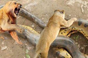 Animal fights  قتال من أجل البقاء  أسد ضد  أناكوندا  الكلاب البرية ضد الظباء معارك الحيوانات