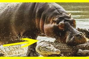 CRAZIEST Animal Fights Caught On Camera- Amazing Hippo Vs Hyena Fighting