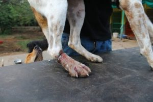 Dog rescued with wire cutting through his leg.