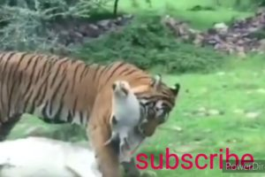 Hungry tiger hunting cow -amezing animal fight -wild animal fight tiger attack cow