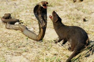 Mongoose Vs King Cobra Fight To Death - Big Battle Of Animals - Wild Animals Attack Compilation