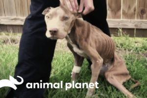 Skeletal Dog Is Rescued By A Police Officer | Pit Bulls & Parolees