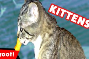 The Cutest Kittens Funniest Moments & Bloopers of 2016 Weekly Compilation   Kyoot Animals