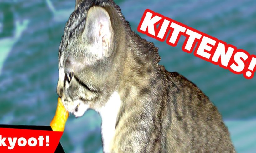 The Cutest Kittens Funniest Moments & Bloopers of 2016 Weekly Compilation | Kyoot Animals