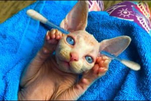 Very cutest kitten that cleans its ears