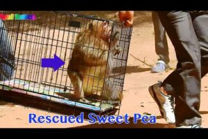 Animals Rescued 2020 /  NGO Rescued Monkey Sweet Pea To Treat To Heal In Shot Time At NGO Official
