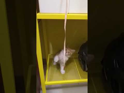 Cutest kitten playing the rope